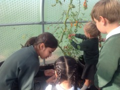 Reception pick tomatoes with their Y6 buddies