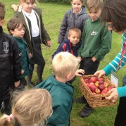 Collecting apples from our orchard
